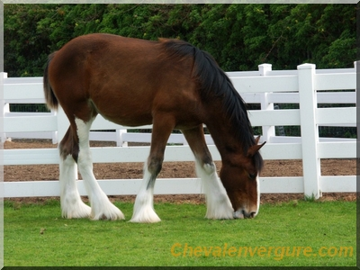 cheval de trait clydesdale