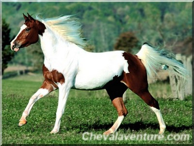 image cheval paint horse